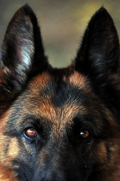 German Shepherd Loses Her Mind When Reunited With Soldier Dad - Answers.com