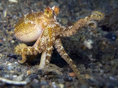 Octopus mototi