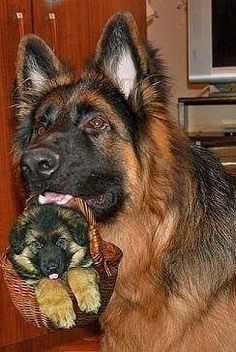 German Shepherd Parent with GS Puppy in a basket - so cute for dog lovers.