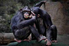 Fuga do zoológico holandês: chimpanzés são mortos em frente a visitantes - GreenMe Brasil Cute Animals, Loom Animals, Brazil, Pretty Animals, Cute Funny Animals, Cutest Animals, Adorable Animals