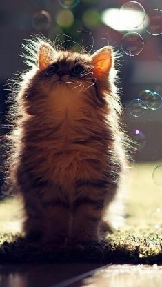 a cute kitty and bubbles iphone 5 wallpaper