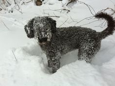Snow or show dog!