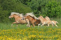 Haflinger mares with foals, Karolina Wengerek