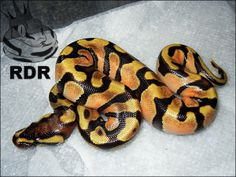 Tangerine Enchi Pretty Snakes, Beautiful Snakes, Burmese Python, Ball Python Morphs, Quokka, Anaconda, Reptiles And Amphibians, Exotic Pets, Noodles