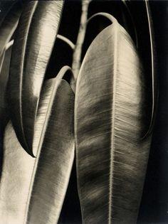 'Rubber Tree' by German photographer Aenne Biermann via la petite mélancolie Photography 2017, Photography Exhibition, Close Up Photography, Monochrome Photography, Landscape Photography, Nature Photography, Rubber Plant, Rubber Tree, Bauhaus