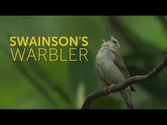 The Swainson's Warbler is an extremely secretive bird, living most of its life concealed in thick undergrowth, where it is more often heard than seen. Environmental Issues, Songs, Wildlife, Birds, Bird