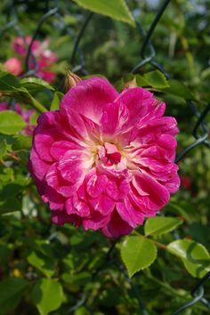 Hybrid Wichurana Climbing Rose: Rosa 'Alexandre Girault' (France, 1907)