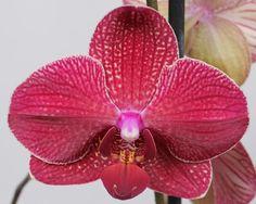 Red Orchids, Dragonflies, Peaches, Beautiful Flowers, Butterflies, Kimono, Plants, Bonito, Dahlias