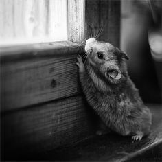 Grayscale peeping window hamster picture photos photography
