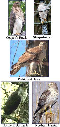 Wild Birds Unlimited: Most common winter hawks in Michigan Hawk Identification, Beautiful Birds, Animals Beautiful, Beautiful Pictures, Bird Of Prey Tattoo, Wild Birds Unlimited, Hawk Bird, Red Tailed Hawk, Birds Of Prey