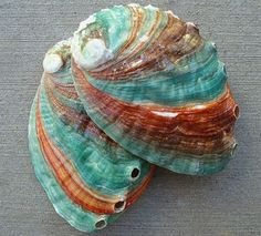 Also known as the Northern Abalone, this Russian Abalone is the most northerly occurring species. It has a thinner shell than most Abalone but has a gorgeous nacre finish inside and great coloration on its back. Nautilus, Shell Collection, Shell Beach, Turquoise, Aqua, Shell Art, Shell Crafts, Abalone Shell, Marine Life