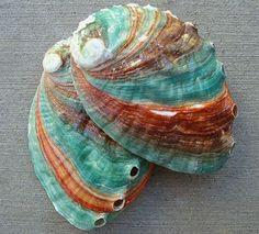 Russian Abalone