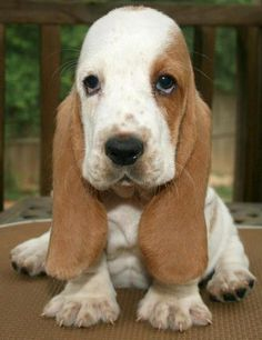 Basset hound puppy. The most adorable puppy ever!
