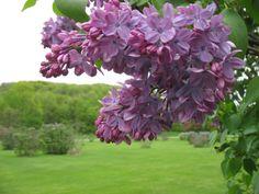 Grasslands In Iowa | Iowa Grasslands: Lilacs