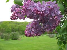 Iowa Grasslands: Lilacs A Jackie favorite and a Kelli favorite!