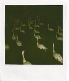 """""""the awful suicidal swans"""" --from """"Rain, Again"""""""