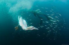 صور مذهلة من أعماق المحيط | صورتي  يذهلنا المصور الروسي الكسندر سيفونوف، المقيم حالياً في هونغ كونغ بصوره المذهلة من عمق البحار . يعمل سيفونوف  مستشاراً مالياً، ولكن شغفه بالماء والأسماك أخذه لمنحنى التصوير. بعدما أخذ رخصة الغوص في عام2002 م. بدأ في تصوير الحياة المائية في عام 2004م . وتستهويه صور أسماك القرش بما فيها من الجمال والمخاطرة. يحب الكسندر التقاط كل ماهو مميز فهو دوما يبحث عن الجزر والأماكن المميزة كجنوب أفريقيا وجزر فيجي.