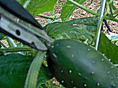 How and when to pick CUCUMBERS. Mr.Veggie Gardener says the right time is CRUCIAL for taste.....hmmm