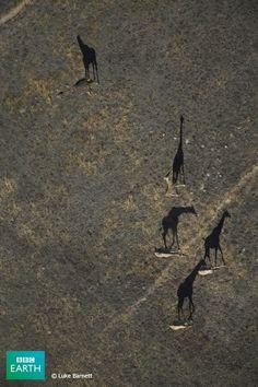 lol giraffe shadows