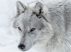 Image result for light grey wolf