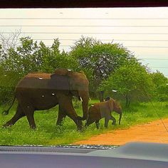 Being on safari is what I imagine a trip to Jurassic Park would feel like.  While in Kruger National Park we combined self-drives with guided drives and could not have been happier.  The park has many roads to explore with gentle giants around each corner.  We were fortunate so see this group of mom and baby elephants crossing the road. Elephants are so majestic. -  Kruger National Park Mpumalanga South Africa  -  @visitsouthafrica #wowsouthafrica #southafrica #zar #africa… Mom And Baby Elephant, Baby Elephants, Kruger National Park, National Parks, Visit South Africa, Self Driving, Gentle Giant, Jurassic Park, Roads