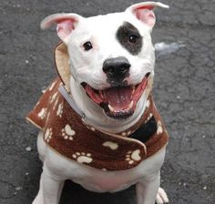 TO BE DESTROYED - 02/17/15 Manhattan Center -P  My name is ROMEO. My Animal ID # is A1027081. I am a neutered male white and black american staff mix. The shelter thinks I am about 4 YEARS old.  I came in the shelter as a OWNER SUR on 02/03/2015 from NY 10458, owner surrender reason stated was COST. https://www.facebook.com/photo.php?fbid=961838363829043