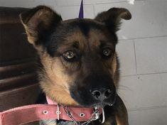 German Shepherd Dog dog for Adoption in pomona, CA. ADN-753503 on PuppyFinder.com Gender: Male. Age: Adult