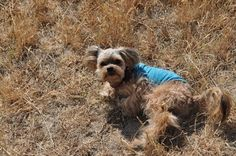 A Dog's Guide to Rolling in Grass ~ Tenacious Little Terrier: