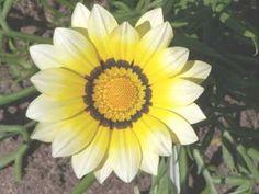 Gazania krebsiana high altitude - gazania yellow
