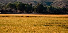 Rice fields in Calasparra.