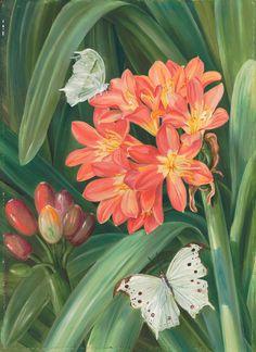 352. Clivia miniata and Moths, Natal. - Marianne North - Kew Gardens Botanical Prints - Kew Botanical Prints