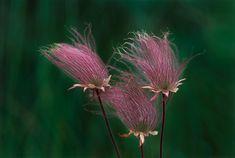 Three Flowered Avens in Seed [Old Man's Beard]