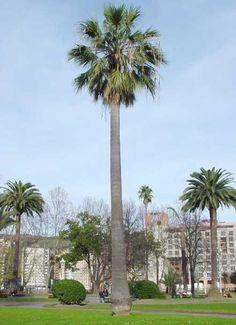 California Fan Palm - Washingtonia filifera