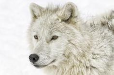 Photograph Arctic wolf profile... by Daniel Parent on 500px