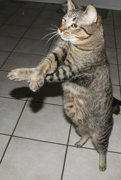 Cat doing oppa gangnam style, follow the pic for more ;)