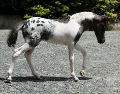 Pintaloosa, a horse combining both piebald/skewbald (usually tobiano) and appaloosa markings. The ApHC Would not register this foal because of the paint markings for sure! Rare Horse Colors, Horse Coat Colors, Rare Horses, Wild Horses, Paint Horse, Horse Markings, Appaloosa Horses, Breyer Horses, Majestic Horse