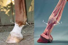Checking equine digital pulses is an important management tool. To begin learning, look at hoof anatomy and leg structure.