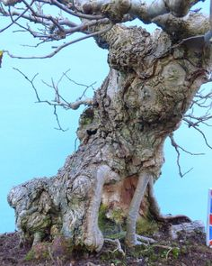 Wych Elm Native Yamadori Bonsai Tree @KaizenBonsai
