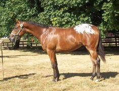 Tack Me Up Tamara, Appaloosa Filly in Oregon | Appaloosa Horses for Sale