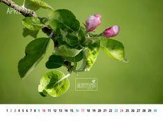 Gratis #Wallpaper zum Download. #Apfelblüte, Kalenderblatt April 2016 1024x768, © wildpeppermint-design.de