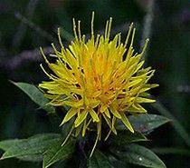 safflower - Bing images