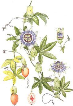 La pasiflora es una planta trepadora leñosa y perenne, de hasta 10 m de longitud. El tallo es al principio angular aunque con el tiempo se vuelve redondeado. Éste es hueco en su interior y ligeramente peludo. La corteza es de color grisácea a verde amarillenta, con manchas púrpuras. Las flores se encuentran un pedicelo axilar. La flor es grande y vistosa de unos 5 a 9 cm. Presenta 5 sépalos rugosos, verdes en la cara exterior y blancos en el interior. Los 5 pétalos son de blanco a rojo...