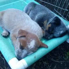 Sleepy heads! - Australian Cattle Dog pups- red and blue from Clancys first litter.