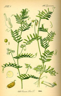 Illustration Lens culinaris0 - Lentil - Wikipedia, the free encyclopedia