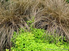 Carex flagellifera 'Toffee Twist' with Veronica prostrata 'Aztec Gold'; Nancy J. Ondra at Hayefield