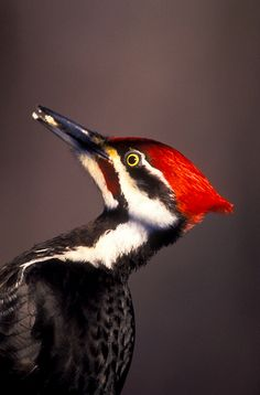 "male pileated woodpecker. ©Jerry Mercier _ No Brasil é chamado de ""pica-pau""."