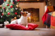 Jack Russell Terrier dog christmas by Anna Averianova on 500px