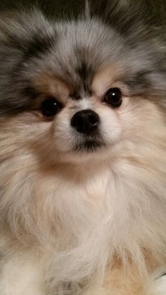 Cutest Pomeranian (Bella). Not mine but my Pom is named Isabella (Izzy, Bella, Bells, Izzer B, etc. The mother of Poms has many titles lololol) #Pomeranian