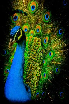 India-Blue Peacock [Pavo csitatus]- Janis McDonald