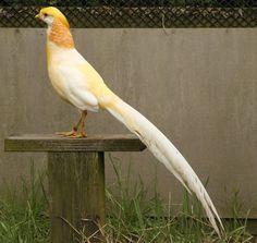 peach golden pheasant - Google Search